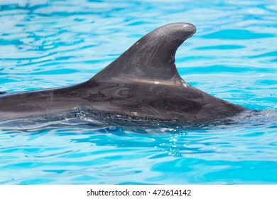 fin dolphin in the pool