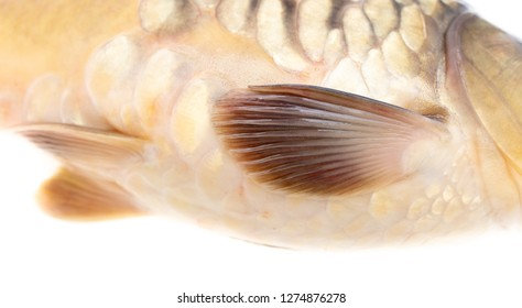 Fin fish carp isolated on white background .