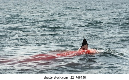 Fin of a Great white shark (Carcharodon carcharias)in the blood. The Great white shark eats the prey in the water.