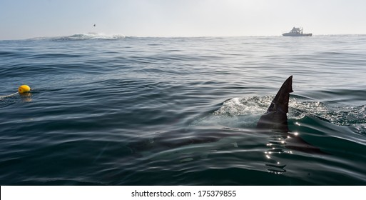 Fin of a Great White Shark in water. Shark Fin above water near the boat.