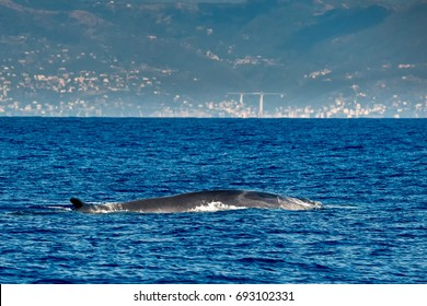 Fin Whale endangered specie rare to see in Mediterranean sea