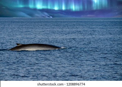 Fin Whale rare to see second largest animal in the world on northern light sky background