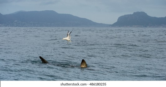 Fin of a white shark and Seagulls. Birds eat oddments from prey of a Great white shark (Carcharodon carcharias)