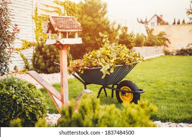 Final garden work of autumn. Green wheelbarrow in the garden. Garden wheelbarrow full of dry leafs and branches. Autumn garden theme.