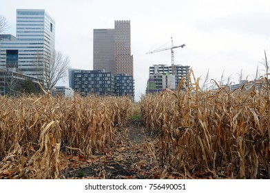 Finance district Amsterdam with maize in the foreground
