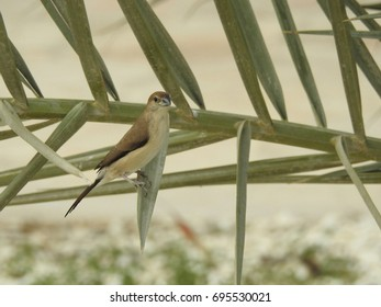 The finch bird on the leaf of a tree in the Middle East.