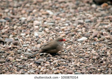 the finch is on the pebbles