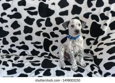 Find dog. Young mixed Dalmatian sitting on Dalmatian pattern couch. Spotty puppy blending camouflage pattern sofa background