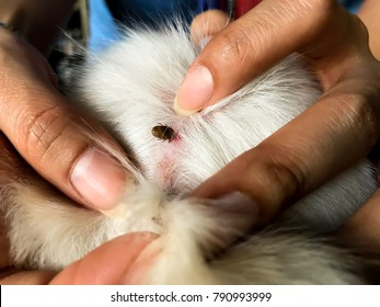 Find flea tick on dog skin hair, Closeup big tick dog eating dog blood with female hand