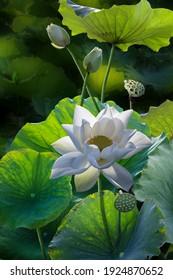 Fine art beautiful white lotus flower in lake