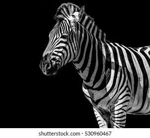 Fine art black and white monochrome portrait of a single isolated cute zebra on black background taken in South Africa - outdoor safari animal impression