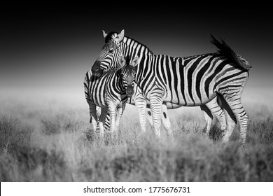 Fine art, black and white photo of two Burchell's zebra, Equus quagga burchellii, mother and foal, african animals in savanna against dark background. Etosha, Namibia safari.