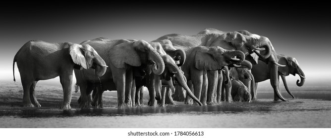 Fine art, black and white photo of group african elephants against dark background, standing on the bank of river Chobe, drinking water.   Botswana safari.