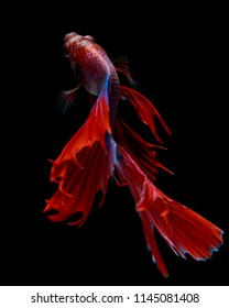 "Fine art concept close up beautiful movement of siamese fighting fish ""Half moon"" Betta fish isolated black background"