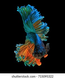 "Fine art concept close up beautiful movement of siamese fighting fish ""Half moon"" Betta fish isolated"