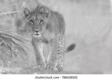 Fine art Male Lion Cub Black and white