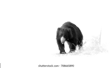 Fine art, minimalistic photography. Sloth bear, Melursus ursinus. Black and white, artistic photo of wild animal, walking directly at camera in Ranthambore national park, India.