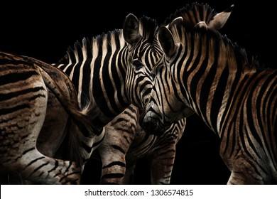 A fine art photo of a herd of zebras