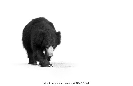 Fine art photography. Sloth bear, Melursus ursinus. Black and white, artistic photo of wild animal, walking directly at camera in Ranthambore national park, India.
