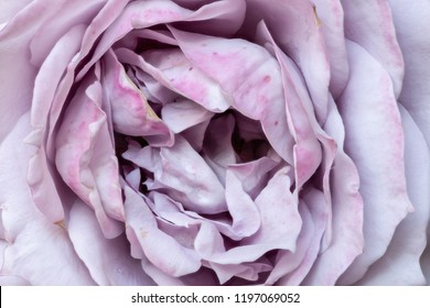Fine art still life bright soft color flower macro photo of the inner of a violet pink rose blossom with detailed texture, petals only