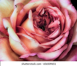 Fine art still life color macro flower portrait of the inner an isolated orange pink yellow blooming rose blossom with detailed texture in vintage painting style in pastel colors