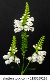 Fine art still life colorful macro image of a green white straight false  dragonhead/obedient/obedience plant with three blossoms on black paper background