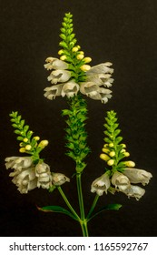 Fine art still life colorful macro image of a green white straight false  dragonhead/obedient/obedience plant with three blossoms on black paper background,vintage painting