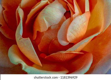 Fine art still life colorful flower top view macro of the inner of a single isolated blooming orange white rose blossom with detailed texture