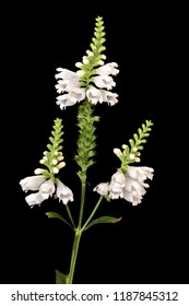 Fine art still life colorful macro image of a green white false  dragonhead/obedient/obedience plant with stem and three blossoms on black background