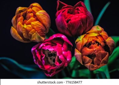 Fine art still life colorful surrealistic flower macro of a bouquet of four blooming red pink yellow tulip blossoms, a quartet on black natural blurred background