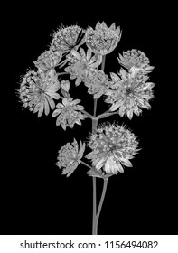 Fine art still life floral monochrome black and white macro of a single isolated flowering stems of astrantia blossoms on black background with detailed structure in vintage graphical painting style