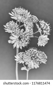 Fine art still life floral monochrome macro of isolated flowering stems of astrantia blossoms on gray paper background with detailed structure  in vintage painting / graphical drawing style