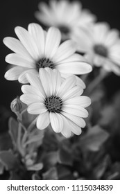 Fine art still life flower monochrome macro image of a wide open blooming african cape daisy / marguerite blossom on natural background