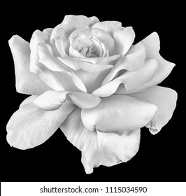 Fine art still life monochrome flower front view macro photo of a wide open blooming white rose blossom with detailed texture on black background
