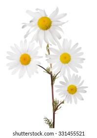 fine chamomile flower on white background