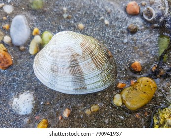 Fine clam or cross-cut carpet shell, Venerupis decussata, over the sand in Arousa Bay