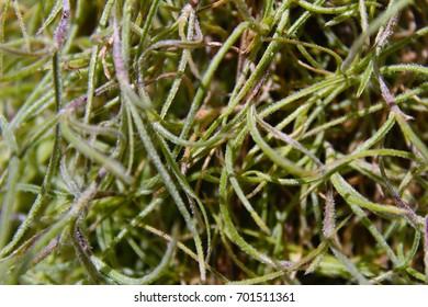 Fine hair vines