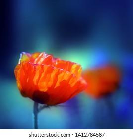 Fine macro photo of red poppy with petals in summer garden