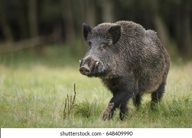 A fine male boar in a German forest