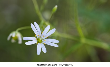 Fine small bloom of grass-like starwort on natural blurry background. Stellaria graminea. Closeup of delicate white flower with tiny petals and stamens in green forest clearing. Spring chickweed herb.