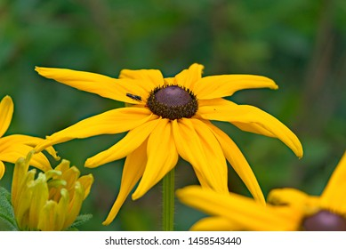 Fine yellow flowers of rudbeckia shining (Rudbeckia fulgida).