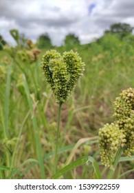 Finger millet, Ragi crop , agriculture, healthy