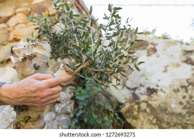 The finger points to the successful grafting of an olive tree