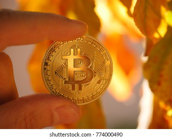 Fingers holding golden bitcoin BTC coin in autumn leaves outdoors, macro closeup.
