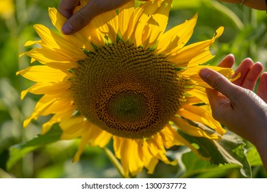 Fingers touching petals of the sunflower on the field close up shot