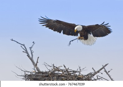 The Finishing Touch - A bald eagle adds a branch as its final touch to completing the nest for the eaglets that will soon arrive. Yellowstone National Park, Wyoming.
