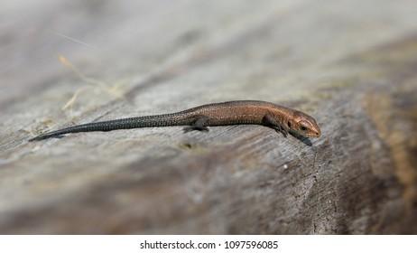 Finland. The viviparous lizard - Zootoca vivipara