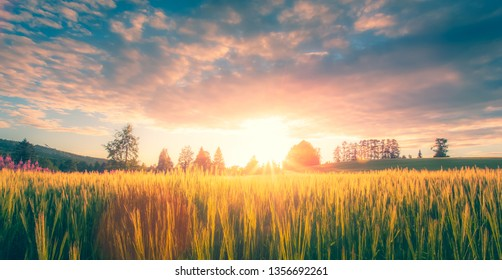 Finnish barley field in sunset. Photo from Sotkamo, Finland.