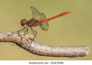 Finnish dragonfly