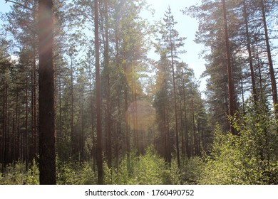 A finnish forest landscape on a sunny summer day.